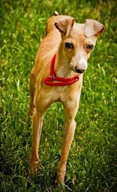 Meet Copper - Kansas City, a Petfinder adoptable Italian Greyhound Dog | Kansas City, MO | I am Copper and  I really want to play and be with you  I want to know where you are all the time...