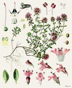 Serpolet (Thymus Serphyllum)  Remèdes de Grand-Mère