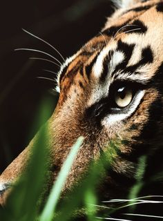 Eye of the tiger...
