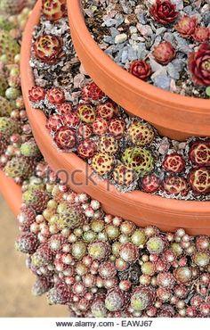Houseleek (Sempervivum) in stacked flower pots - Stock Image