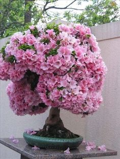 Incredibly Beautiful Azalea Bonsai