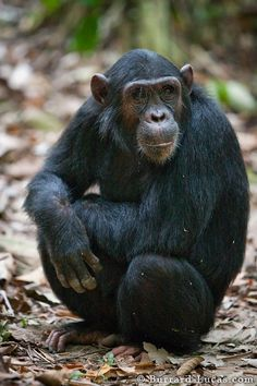 Will Burrard-Lucas is a professional wildlife photographer known for using technology and innovation to photograph wildlife in new ways. Barrel Of Monkeys, List Of Animals, Pet Monkey, Animal Species, Chimpanzee, Photo Reference, Clay Art, Animal Kingdom, Animals Beautiful