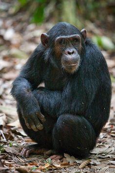 sitting_chimp.jpg (533×800)