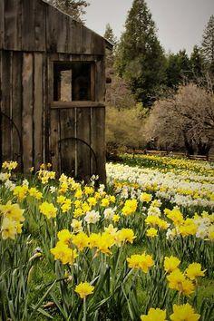 barn in a field of daffodils