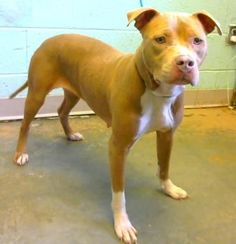Apple - URGENT - located at Dekalb County Animal Shelter in Decatur Georgia - 2 year old Pit Bull Mix