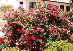 knock out rose bush