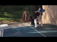 This Dog Is Better Than You At Ping Pong, Guaranteed | joyfoolish