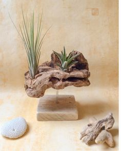 Driftwood object and its two tillandsias from .Driftwood object and its two tillandsias from . - wood corenne two in float OWood Skoquerur decor driftwood art decor Driftwood Planters, Driftwood Projects, Driftwood Art, Air Plant Display, Plant Decor, Air Plants, Indoor Plants, Cool Coasters, Deco Nature
