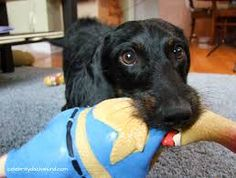 Image result for dachshund wirehaired