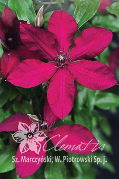 Clematis 'Solidarność' Thing 1, Flowering Vines, Trellis, Orchids, Beautiful Flowers, Pergola, Home And Garden, Bloom, Lily