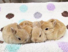 "1,513 Likes, 14 Comments - ラビットインパクト🇯🇵 (@rabbitimpact_) on Instagram: ""女子3人、男子1人、コソコソ会議中です♪  #bunny #rabbit  #animal  #pets #bunnystagram #instapets #rabbitstagram…"""