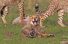 Cheetah Smile by Stephen Earle Baby Cats, Baby Animals, Funny Animals, Beautiful Cats, Animals Beautiful, Big Cat Family, Baby Cheetahs, Serval Cats, Cheetah Cubs