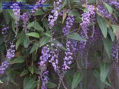 Australian Sarsparilla, False Sarsaparilla, Happy Wanderer, Coral Pea, Lilac Vine  Hardenbergia violacea  Read more: http://davesgarden.com/guides/pf/go/2235/#ixzz2OkIggmDf