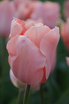 Tulip Apricot Perfection - Dutch Garden World