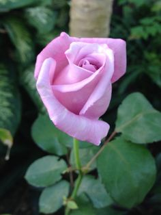 If you are thinking of rose gardening don't let this rumor stop you. While rose gardening can prove to be challenging, once you get the hang of it, it really isn't that bad. Beautiful Rose Flowers, Unusual Flowers, Pretty Roses, All Flowers, Lavender Roses, Purple Roses, Red And White Roses, One Rose, Rose Pictures