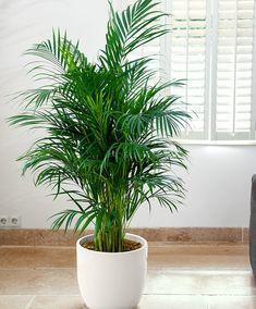 Air so Pure® Areca Palm