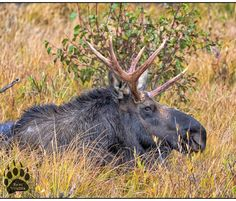 A very nice looking Bull Moose in RMNP  I saw a few more but I liked the color and setting of this one  Release the Animals  #instadaily #moose #moose #rmnp #colorado #estespark #wildlife #animalsofinstagram #AnimalKingdom #animals #nature #naturephotography