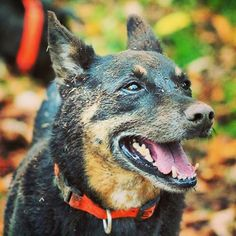Post-mud bath Herc! #evasplaypupsPA #dogs #dogcamp #smilingdogs #sillypooch #playtime #mudbath #muddypaws #handsomeman #itsadogslife #brooklyndogs #autumniscoming #dogsinnature #runfree #shepherdsofinstagram #dogsofinstagram #instapup #petportraits #doggyvacays #doggievacays #dogboarding #pleasantmount #northeasternpa #PA #pennsylvania