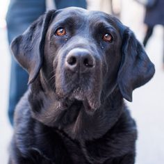 """Velma Labrador Retriever y/o) & Ave. New York NY """"She was a guide dog in training but she had too much 'self confidence'."""" by thedogist All Dogs, I Love Dogs, Best Dogs, Cute Dogs, Dogs And Puppies, Awesome Dogs, Doggies, Black Labrador, Black Labs"""