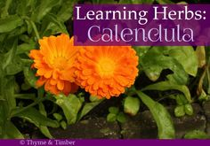 "{click HERE to see entire ""Learning Herbs"" series} Calendula Herb Profile: Latin Name: Calendula officinalis Other names: Pot Marigold (not to be confused with ""marigold"" which is an entirely diffe..."