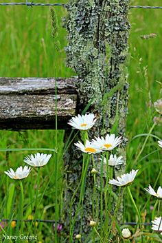 Fence Post cover with lichen, and white wild flowers