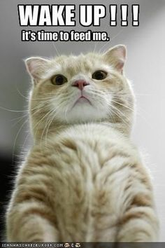 15 Cats Who Are Waking You Up For An Important Task.. (Memes) - I Can Has Cheezburger? Funny Wild Animals, Baby Animals, Cute Animals, Funny Animal Memes, Funny Animal Pictures, Funny Cats, Animal Captions, Silly Cats, Funny Quotes
