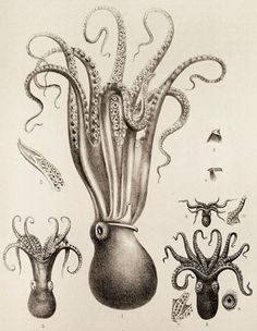 Scientific Illustration | kizioko: squid art (by Vintage Collective)