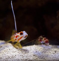 goby and pistol shrimp relationship help