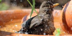 Vogeltränke/Vogelbad - Der Garten wird noch schöner mit einer dekorativen Vogeltränke! Ergänzend zu den Vogelhäuschen sind Vogelbäder vielleicht noch wichtiger(...)