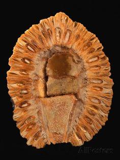 Minerals And Gemstones, Crystals Minerals, Rocks And Minerals, Stones And Crystals, Human Fossils, Dinosaur Fossils, Beautiful Rocks, Petrified Wood, Rocks And Gems