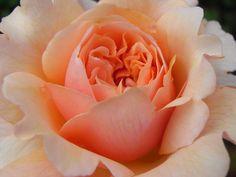 Rose 'Versigny'