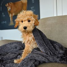 Mini labradoodle puppy...This might just be Mowgli's new little brother or sister :)