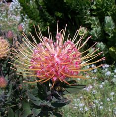 What Are Protea - Californiaprotea Garden Plants, Flora, It Is Finished, Seasons, Spider, Artwork, Adobe, Australia, House