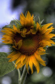 I Dreamed of Sunflowers