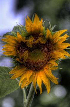 I Dreamed of Sunflowers by JWagnonPhotography