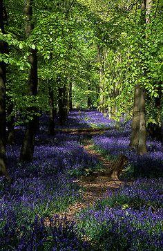 Ashridge Park, Hertfordshire, UK | National Trust Woodlands carpeted with English Bluebells