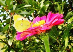 Bellissima farfallina gialla