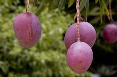 If you've ever seen a 40-foot-tall, full-size mango tree (Mangifera indica), it's hard to imagine one small enough to grow in a pot. Fortunately, dwarf and semi-dwarf...