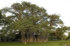 Giant Baobab Baobab Tree, Country Hotel, Tree Images, Tree Of Life, Tanzania, Countryside, Plants, South Africa, Beautiful