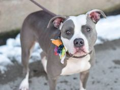 Brooklyn Center REMY - A1029546 **SAFER: AVERAGE HOME** FEMALE, GRAY / WHITE, AM PIT BULL TER MIX, 1 yr, 2 mos OWNER SUR - EVALUATE, NO HOLD Reason MOVE2PRIVA Intake condition EXAM REQ Intake Date 03/06/2015 https://www.facebook.com/photo.php?fbid=975811225765090