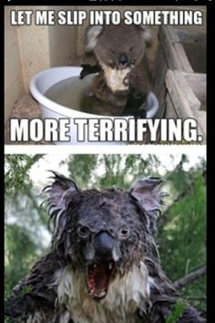 Koalas, terrifying when wet.