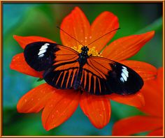 Piano Key Butterfly (Heliconius melpomene) ia  also called The Postman and comes from tropical America.