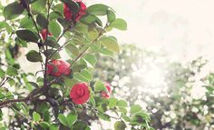 Laying under the camellia tree watching the dancing light…