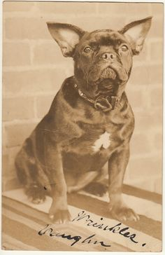 French Bulldog, with open nostrils and a bit of muzzle! New York, about Photo Vintage, Vintage Dog, French Bulldog Art, French Bulldogs, Black And White Dog, Vintage Photographs, Vintage Photos, France, Little Dogs