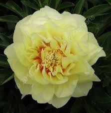 Image result for peony yellow dream
