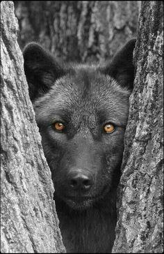 The gray wolf... http://BlueChipMoney.com