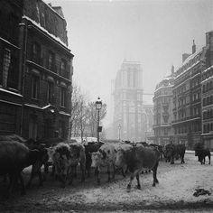 Troupeau conduit a l'abattoir pour le ravitaillement de Paris , hiver 1945....reépinglé par Maurie Daboux ❥•*`*•❥