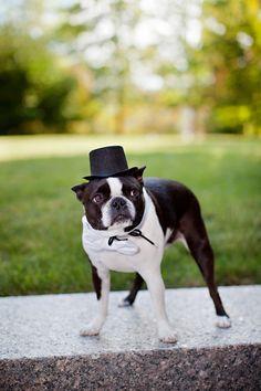 Boston Terriers At Weddings On Pinterest