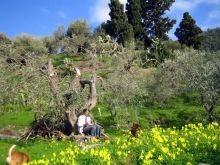 Der Olivenhain (13.500 qm) ist komplett umzäunt - Hunde können frei laufen