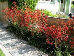 34 Ideas landscape ideas drought tolerant kangaroo paw for The Effective Pictures We Offer You About Australian garden Drought Resistant Plants, Drought Tolerant Landscape, Landscaping Plants, Front Yard Landscaping, Xeriscape Plants, Landscaping Ideas, Hedging Plants, Succulent Landscaping, Grasses